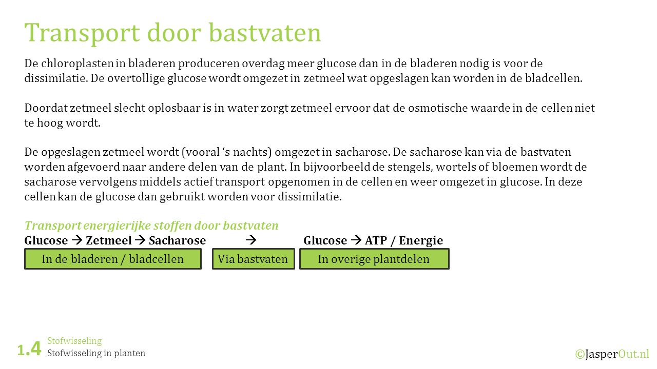 Stofwisseling 1.4 ©JasperOut.nl Stofwisseling in planten Transport door bastvaten De chloroplasten in bladeren produceren overdag meer glucose dan in de bladeren nodig is voor de dissimilatie.