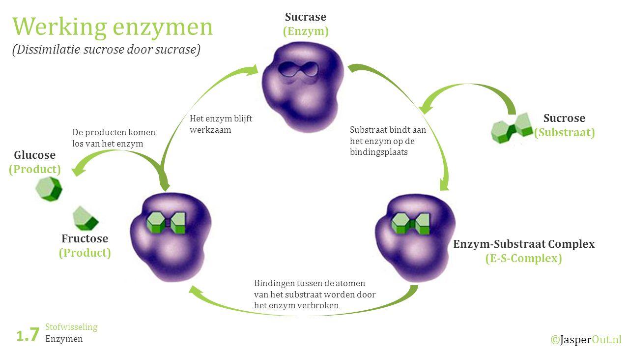 Stofwisseling 1.7 ©JasperOut.nl Enzymen Werking enzymen (Dissimilatie sucrose door sucrase) Sucrase (Enzym) Enzym-Substraat Complex (E-S-Complex) Sucrose (Substraat) Glucose (Product) Fructose (Product) Substraat bindt aan het enzym op de bindingsplaats Bindingen tussen de atomen van het substraat worden door het enzym verbroken De producten komen los van het enzym Het enzym blijft werkzaam