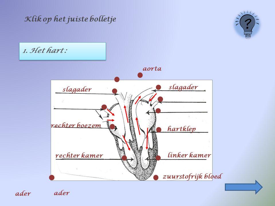1. Het hart : Klik op het juiste bolletje rechter kamer rechter boezem linker kamer slagader hartklep zuurstofrijk bloed aorta