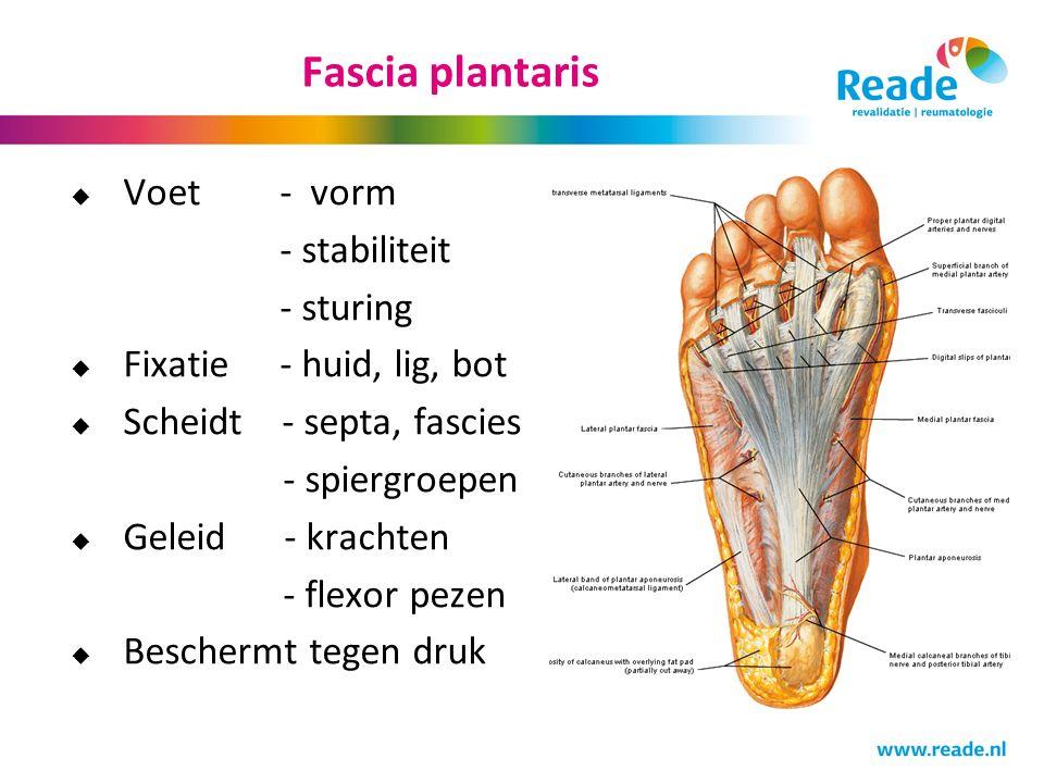Fascia plantaris  Voet - vorm - stabiliteit - sturing  Fixatie - huid, lig, bot  Scheidt - septa, fascies - spiergroepen  Geleid - krachten - flex