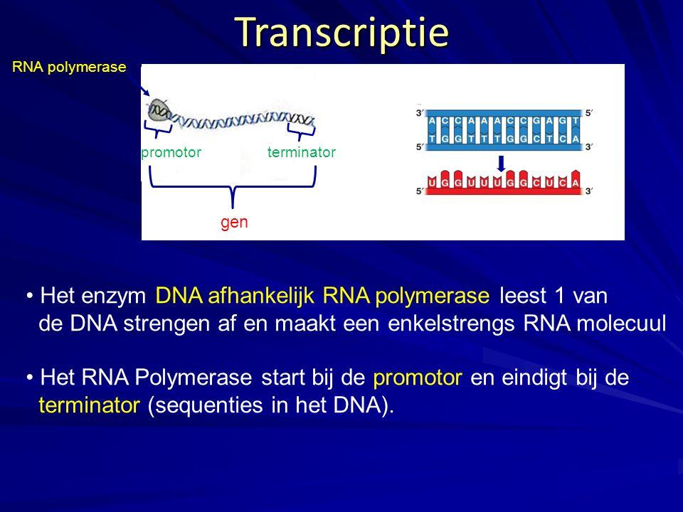 Transcriptie Het enzym DNA afhankelijk RNA polymerase leest 1 van de DNA strengen af en maakt een enkelstrengs RNA molecuul Het RNA Polymerase start b