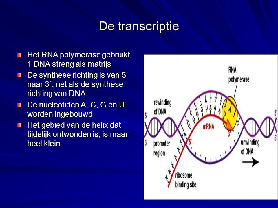 De transcriptie Het RNA polymerase gebruikt 1 DNA streng als matrijs De synthese richting is van 5` naar 3`, net als de synthese richting van DNA. De