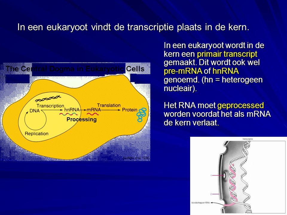 In een eukaryoot vindt de transcriptie plaats in de kern. In een eukaryoot wordt in de kern een primair transcript gemaakt. Dit wordt ook wel pre-mRNA
