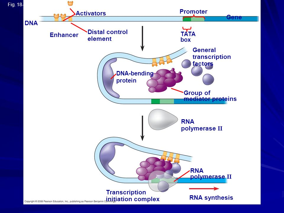 Fig. 18-9-3 Enhancer TATA box Promoter Activators DNA Gene Distal control element Group of mediator proteins DNA-bending protein General transcription