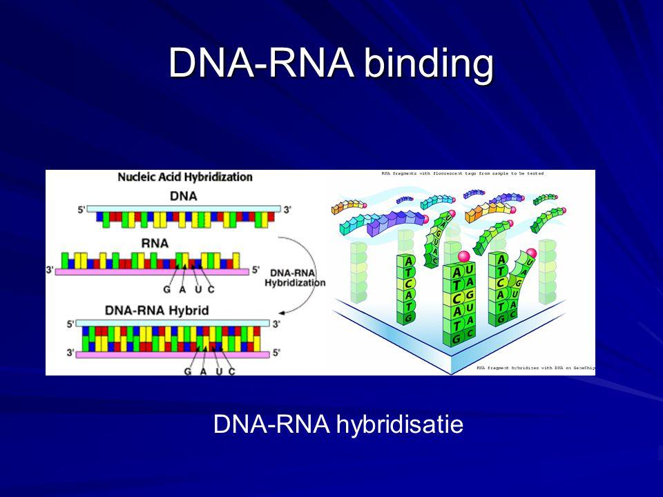 Een EM-opname van de transcriptie van r-DNA (=ribosomaal DNA), waarbij rRNA wordt gemaakt.