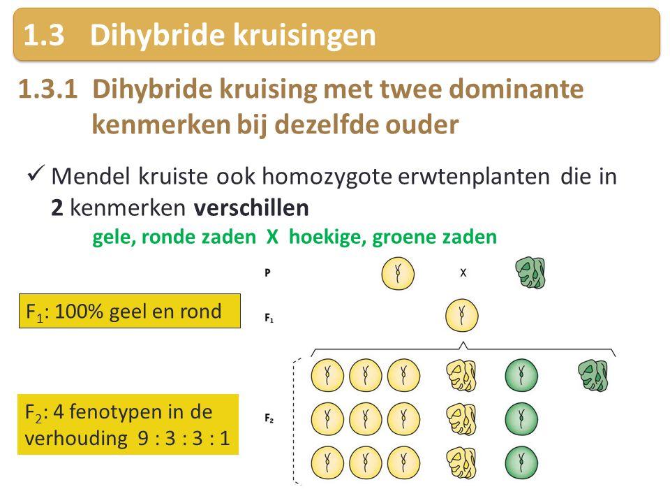 1.3Dihybride kruisingen 1.3.1 Dihybride kruising met twee dominante kenmerken bij dezelfde ouder Mendel kruiste ook homozygote erwtenplanten die in 2 kenmerken verschillen gele, ronde zaden X hoekige, groene zaden F 1 : 100% geel en rond F 2 : 4 fenotypen in de verhouding 9 : 3 : 3 : 1