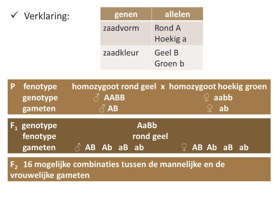 Verklaring: genenallelen zaadvormRond A Hoekig a zaadkleurGeel B Groen b P fenotype homozygoot rond geel x homozygoot hoekig groen genotype ♂ AABB ♀ aabb gameten ♂ AB ♀ ab F 1 genotype AaBb fenotype rond geel gameten ♂ AB Ab aB ab ♀ AB Ab aB ab F 2 16 mogelijke combinaties tussen de mannelijke en de vrouwelijke gameten