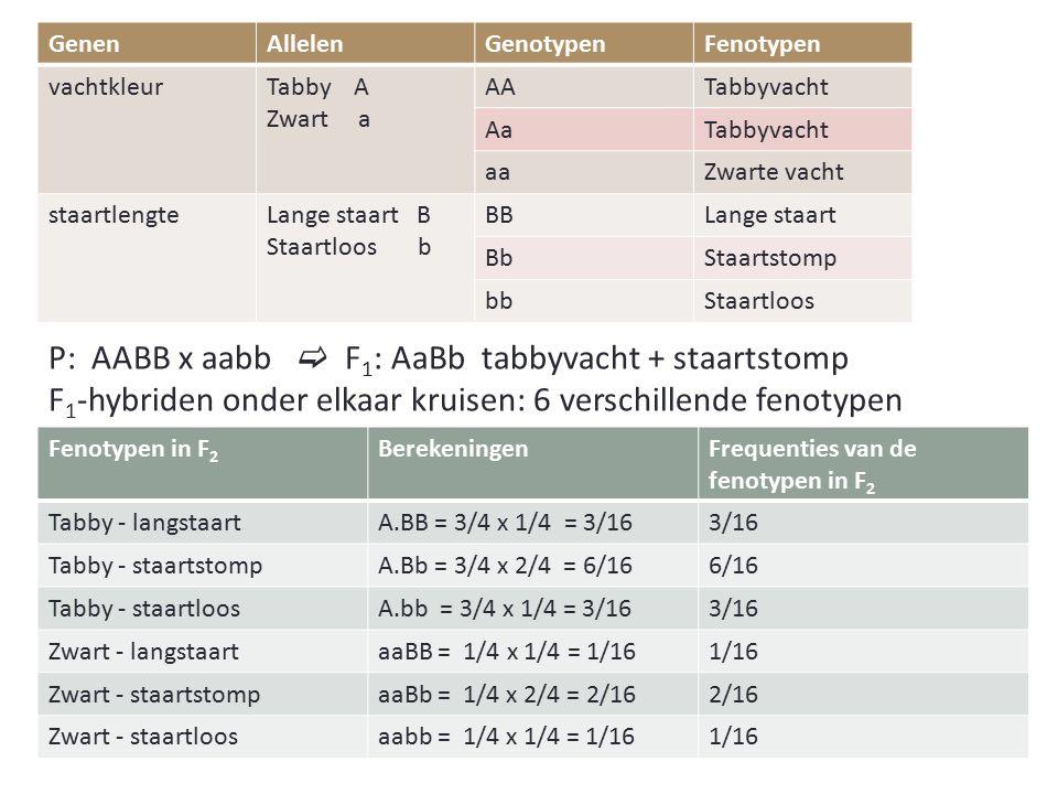 GenenAllelenGenotypenFenotypen vachtkleurTabby A Zwart a AATabbyvacht AaTabbyvacht aaZwarte vacht staartlengteLange staart B Staartloos b BBLange staart BbStaartstomp bbStaartloos Fenotypen in F 2 BerekeningenFrequenties van de fenotypen in F 2 Tabby - langstaartA.BB = 3/4 x 1/4 = 3/163/16 Tabby - staartstompA.Bb = 3/4 x 2/4 = 6/166/16 Tabby - staartloosA.bb = 3/4 x 1/4 = 3/163/16 Zwart - langstaartaaBB = 1/4 x 1/4 = 1/161/16 Zwart - staartstompaaBb = 1/4 x 2/4 = 2/162/16 Zwart - staartloosaabb = 1/4 x 1/4 = 1/161/16 P: AABB x aabb  F 1 : AaBb tabbyvacht + staartstomp F 1 -hybriden onder elkaar kruisen: 6 verschillende fenotypen