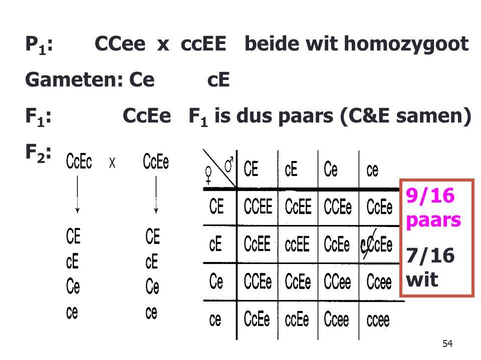 54 P 1 : CCee x ccEE beide wit homozygoot Gameten: Ce cE F 1 : CcEe F 1 is dus paars (C&E samen) F2:F2: 9/16 paars 7/16 wit