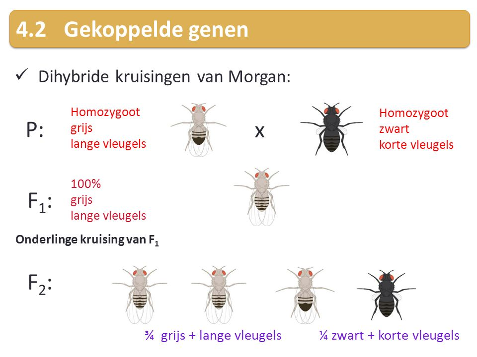 4.2Gekoppelde genen Dihybride kruisingen van Morgan: P: x F1:F1: Homozygoot zwart korte vleugels Homozygoot grijs lange vleugels 100% grijs lange vleugels F2:F2: Onderlinge kruising van F 1 ¾ grijs + lange vleugels ¼ zwart + korte vleugels