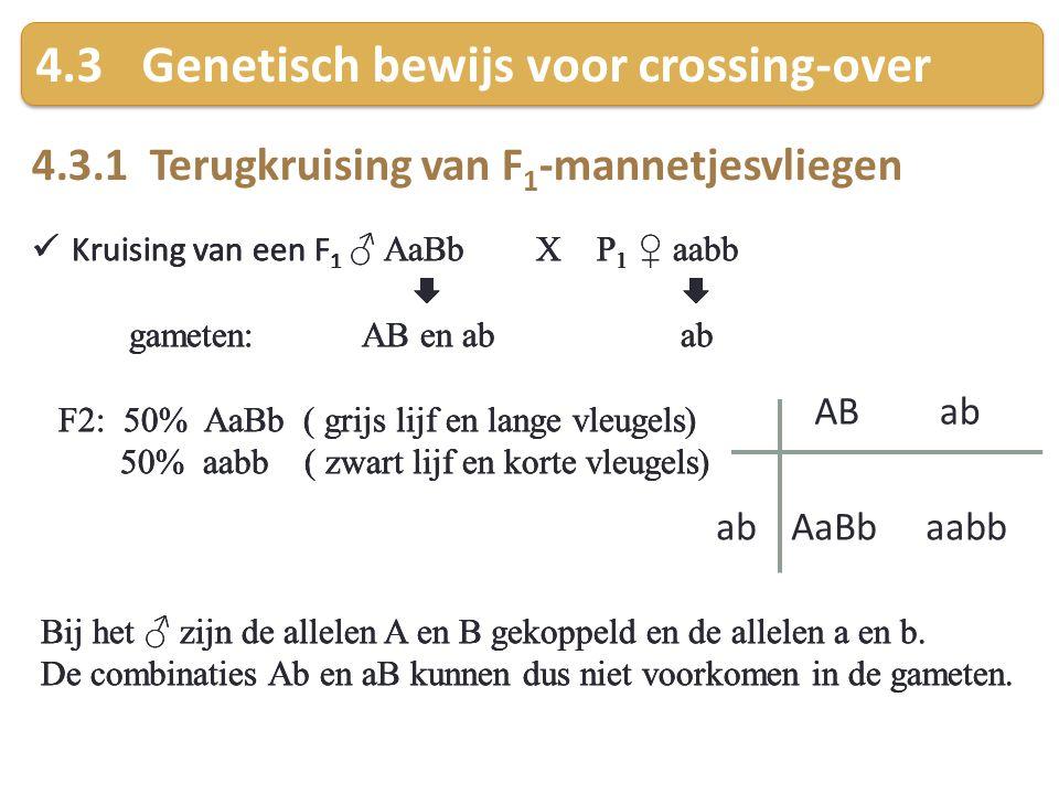 4.3Genetisch bewijs voor crossing-over 4.3.1 Terugkruising van F 1 -mannetjesvliegen Kruising van een F 1 ♂ AaBb X P 1 ♀ aabb  gameten: AB en ab ab F2: 50% AaBb ( grijs lijf en lange vleugels) 50% aabb ( zwart lijf en korte vleugels) Bij het ♂ zijn de allelen A en B gekoppeld en de allelen a en b.