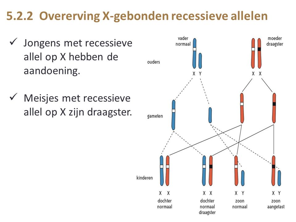 5.2.2 Overerving X-gebonden recessieve allelen Jongens met recessieve allel op X hebben de aandoening.