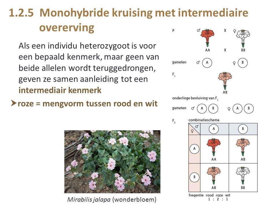 1.2.5 Monohybride kruising met intermediaire overerving Als een individu heterozygoot is voor een bepaald kenmerk, maar geen van beide allelen wordt teruggedrongen, geven ze samen aanleiding tot een intermediair kenmerk  roze = mengvorm tussen rood en wit Mirabilis jalapa (wonderbloem)