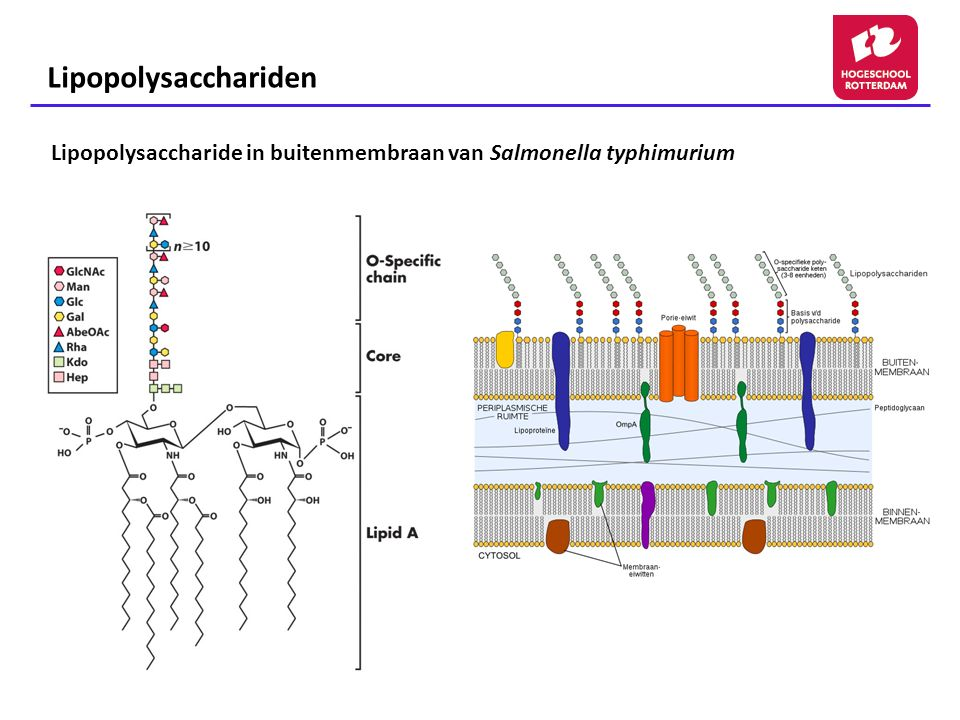 Lipopolysacchariden Lipopolysaccharide in buitenmembraan van Salmonella typhimurium