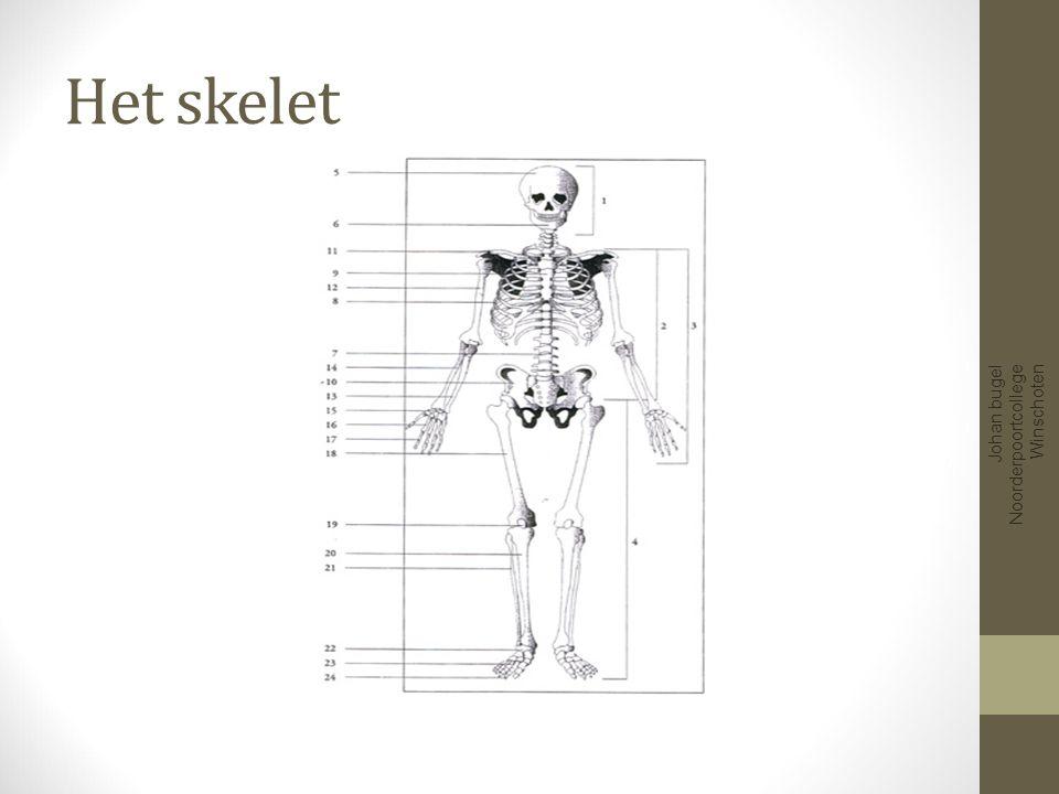 206 Botten Functies van het skelet Stevigheid en vorm Beweging Bescherming Aanhechtingsplaats spieren Vorming bloedcellen en bloedplaatjes Voorraadplaats kalk Johan bugel Noorderpoortcollege Winschoten