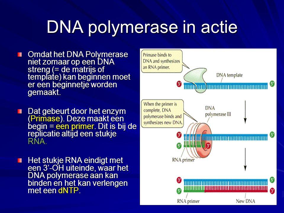 DNA polymerase in actie Omdat het DNA Polymerase niet zomaar op een DNA streng (= de matrijs of template) kan beginnen moet er een beginnetje worden gemaakt.