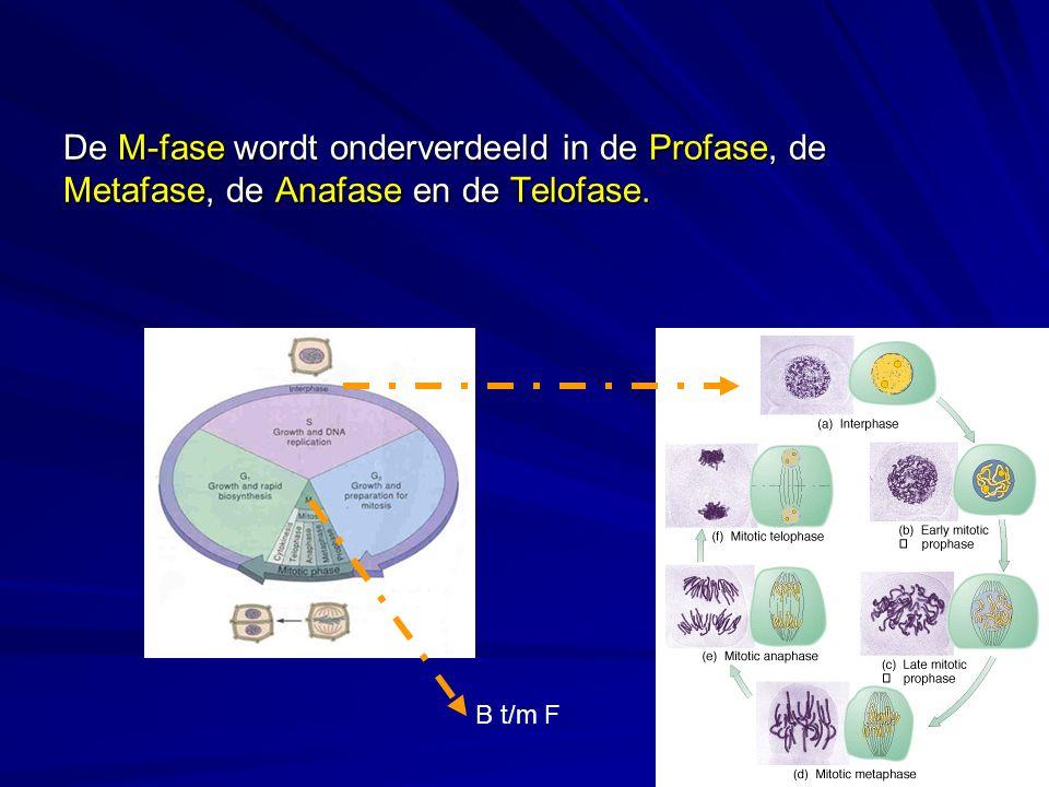 De M-fase wordt onderverdeeld in de Profase, de Metafase, de Anafase en de Telofase. B t/m F