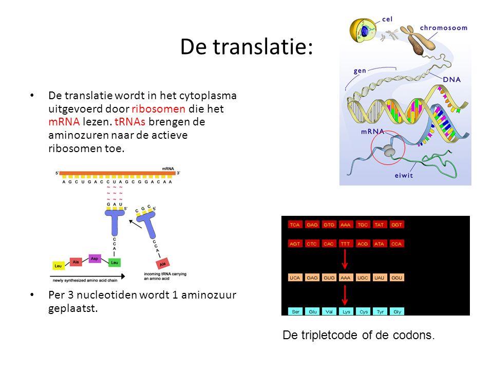 De translatie: De translatie wordt in het cytoplasma uitgevoerd door ribosomen die het mRNA lezen. tRNAs brengen de aminozuren naar de actieve ribosom