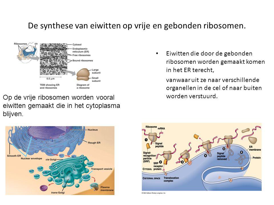 De synthese van eiwitten op vrije en gebonden ribosomen. Eiwitten die door de gebonden ribosomen worden gemaakt komen in het ER terecht, vanwaar uit z