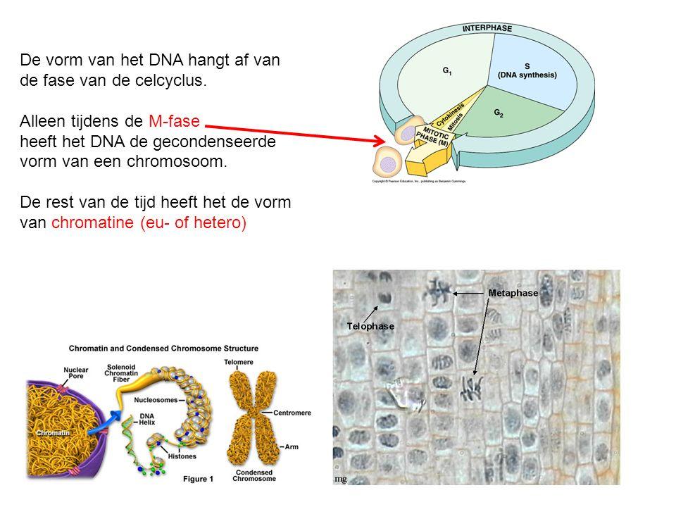 De vorm van het DNA hangt af van de fase van de celcyclus. Alleen tijdens de M-fase heeft het DNA de gecondenseerde vorm van een chromosoom. De rest v
