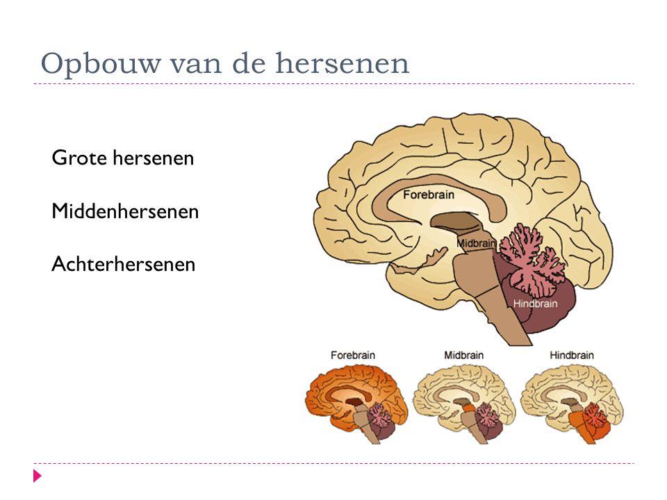  Grote hersenenn (menselijk brein)  Hersenschors (cortex): typisch menselijke kenmerken  Hersenkwabben: o.a.