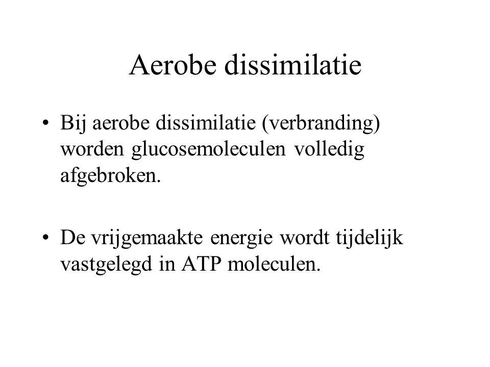 Aerobe dissimilatie Bij aerobe dissimilatie (verbranding) worden glucosemoleculen volledig afgebroken. De vrijgemaakte energie wordt tijdelijk vastgel