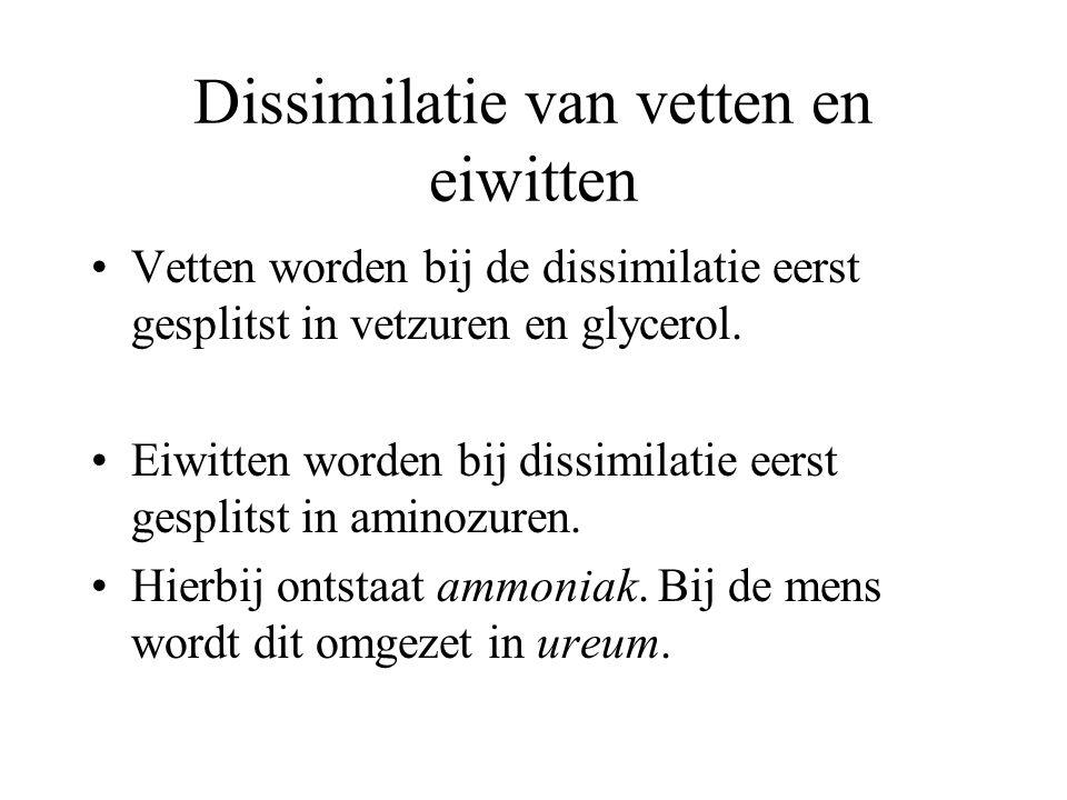Dissimilatie van vetten en eiwitten Vetten worden bij de dissimilatie eerst gesplitst in vetzuren en glycerol. Eiwitten worden bij dissimilatie eerst