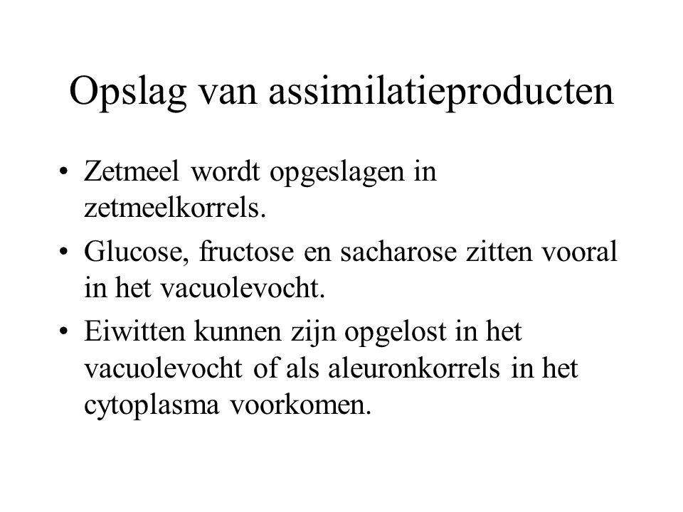 Opslag van assimilatieproducten Zetmeel wordt opgeslagen in zetmeelkorrels. Glucose, fructose en sacharose zitten vooral in het vacuolevocht. Eiwitten