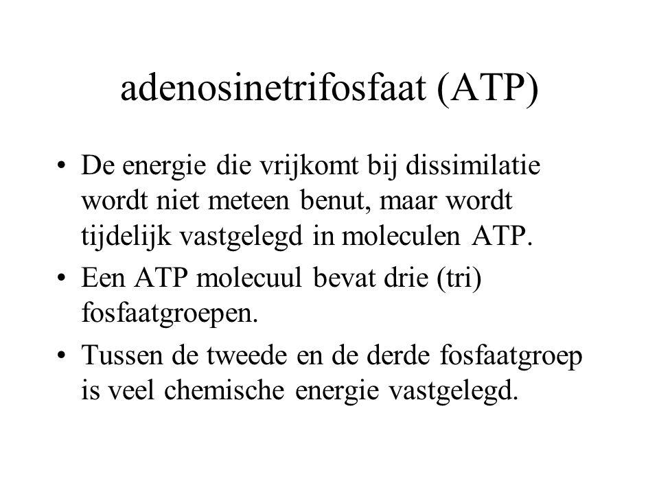 ATP Wanneer de derde fosfaatgroep van ATP wordt afgesplitst, komt de chemische energie vrij.