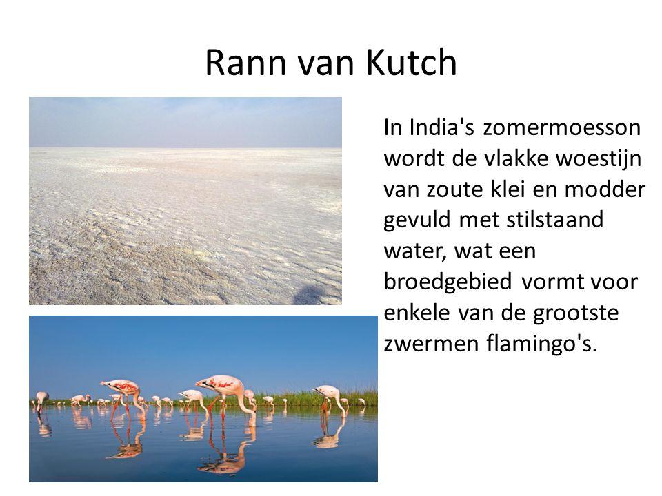 Rann van Kutch In India s zomermoesson wordt de vlakke woestijn van zoute klei en modder gevuld met stilstaand water, wat een broedgebied vormt voor enkele van de grootste zwermen flamingo s.