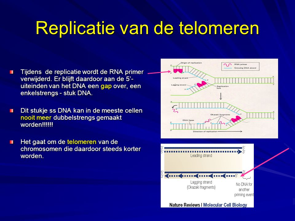 Replicatie van de telomeren Tijdens de replicatie wordt de RNA primer verwijderd.