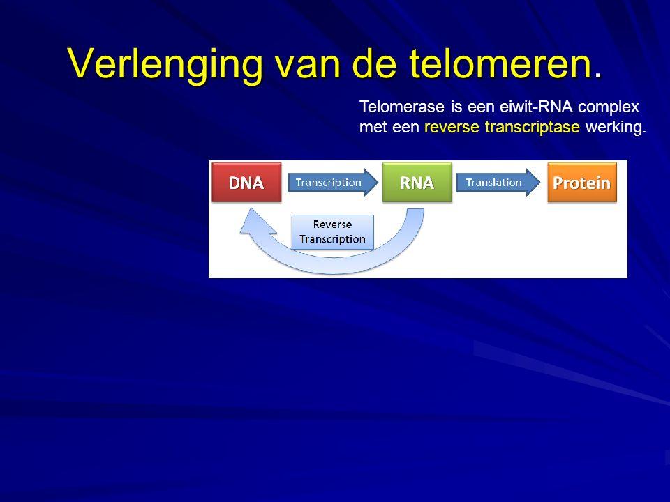 Verlenging van de telomeren.