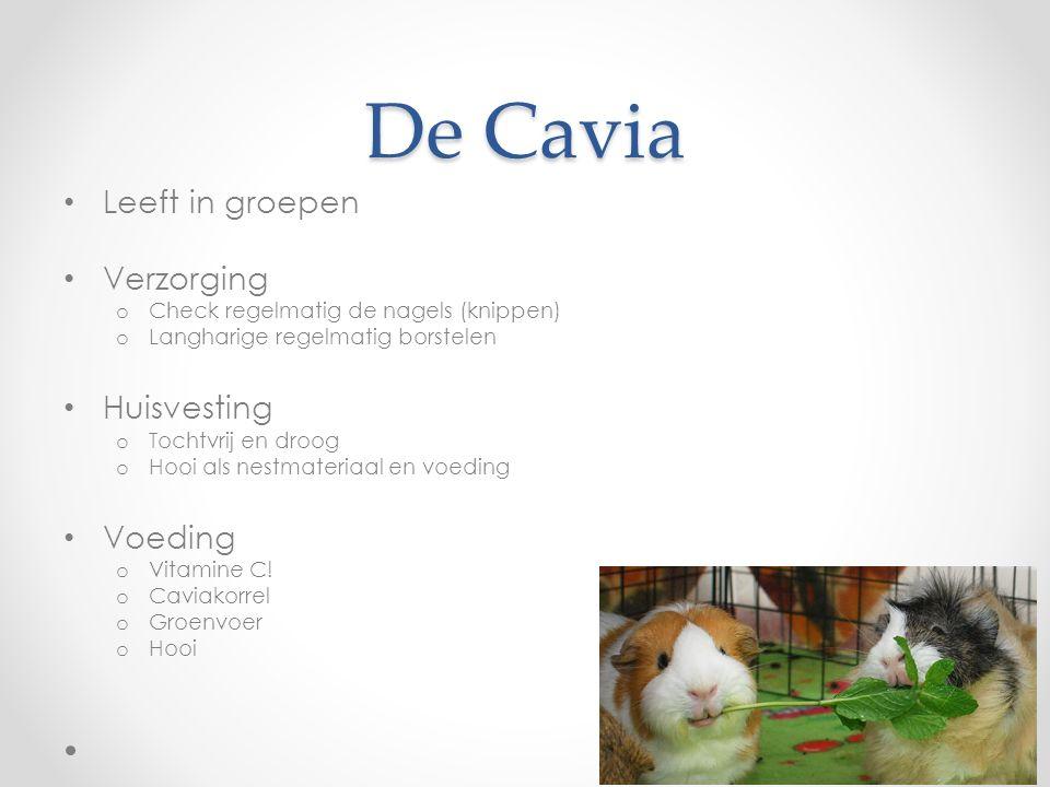 De Cavia Leeft in groepen Verzorging o Check regelmatig de nagels (knippen) o Langharige regelmatig borstelen Huisvesting o Tochtvrij en droog o Hooi als nestmateriaal en voeding Voeding o Vitamine C.