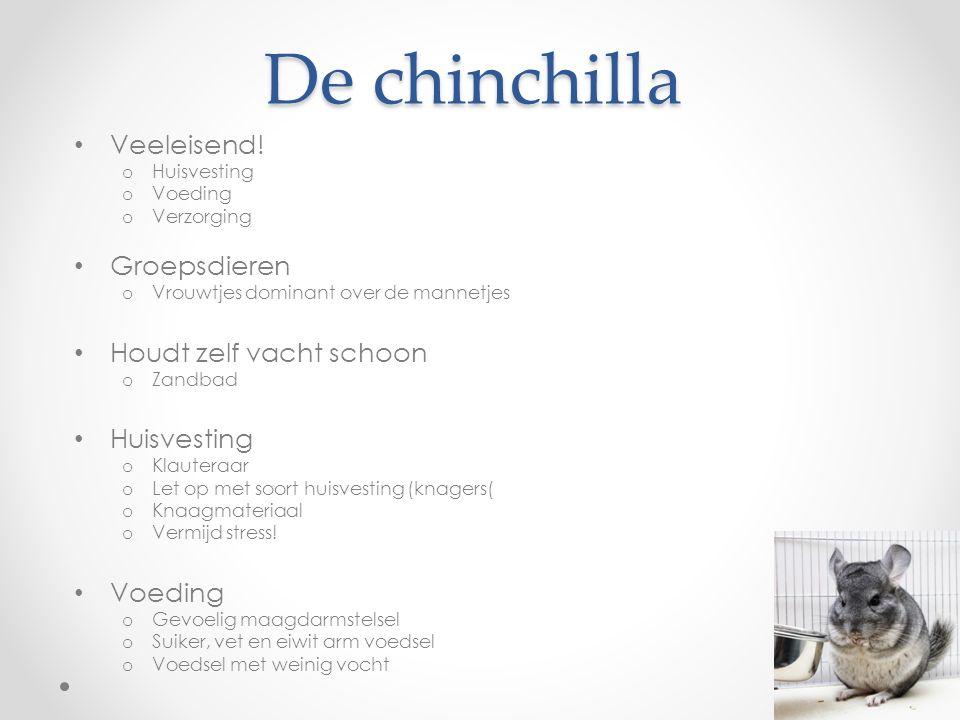 De chinchilla Veeleisend.