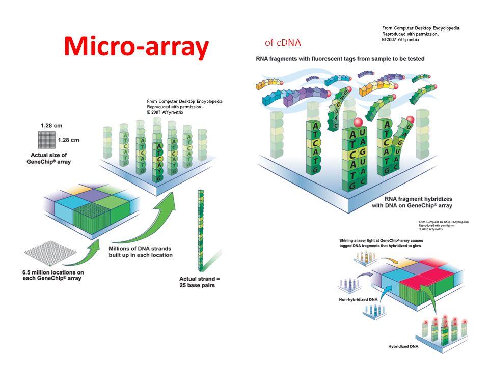 RT-PCR RT-PCR kan tegenwoordig met 1 thermostabiel DNA polymerase worden uitgevoerd.