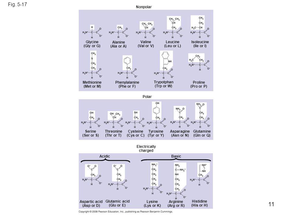 11 Fig. 5-17 Nonpolar Glycine (Gly or G) Alanine (Ala or A) Valine (Val or V) Leucine (Leu or L) Isoleucine (Ile or I) Methionine (Met or M) Phenylala