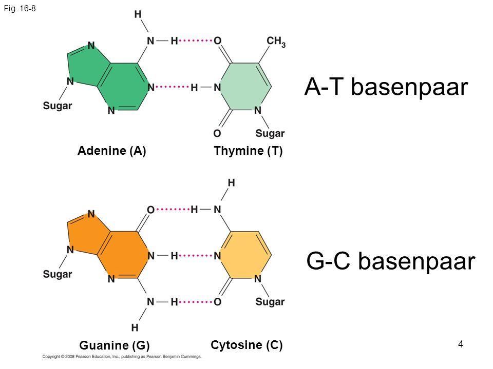 4 Fig. 16-8 Cytosine (C) Adenine (A)Thymine (T) Guanine (G) A-T basenpaar G-C basenpaar