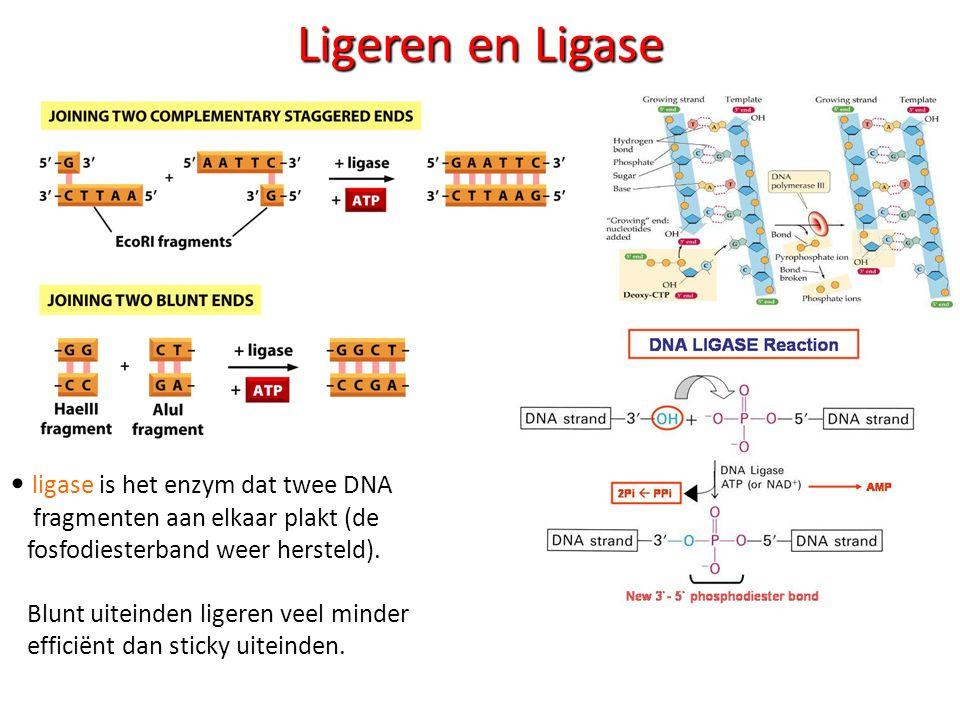 Ligeren en Ligase ligase is het enzym dat twee DNA fragmenten aan elkaar plakt (de fosfodiesterband weer hersteld). Blunt uiteinden ligeren veel minde