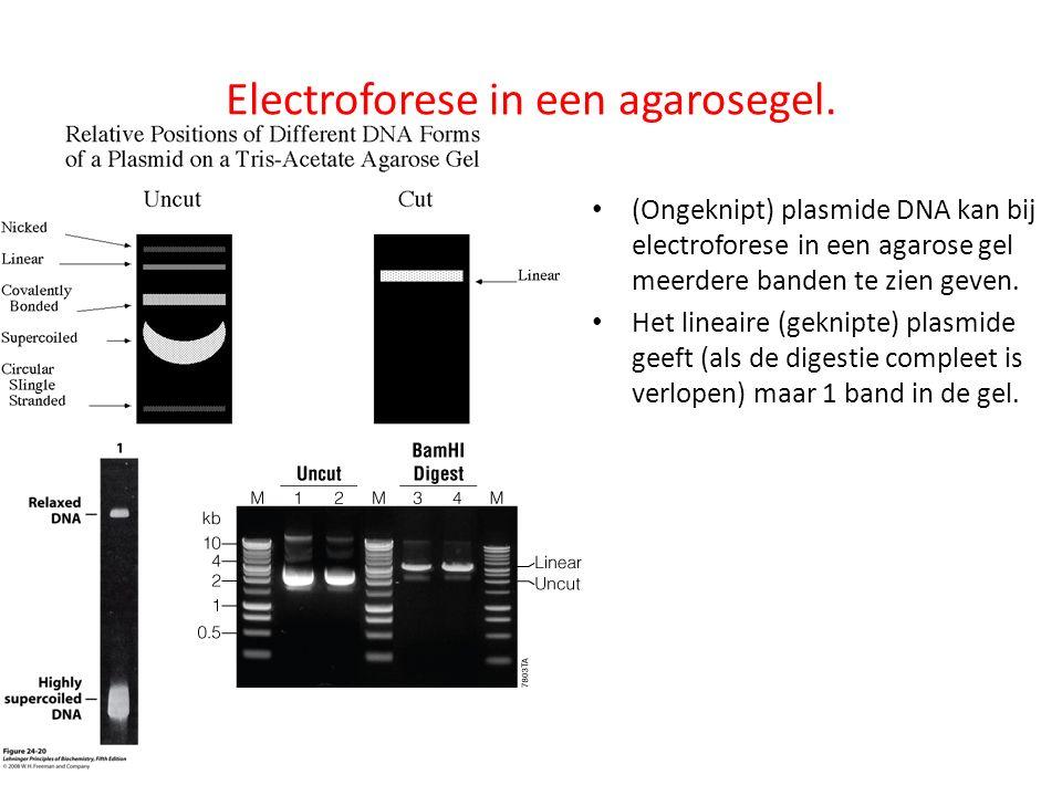 Electroforese in een agarosegel. (Ongeknipt) plasmide DNA kan bij electroforese in een agarose gel meerdere banden te zien geven. Het lineaire (geknip