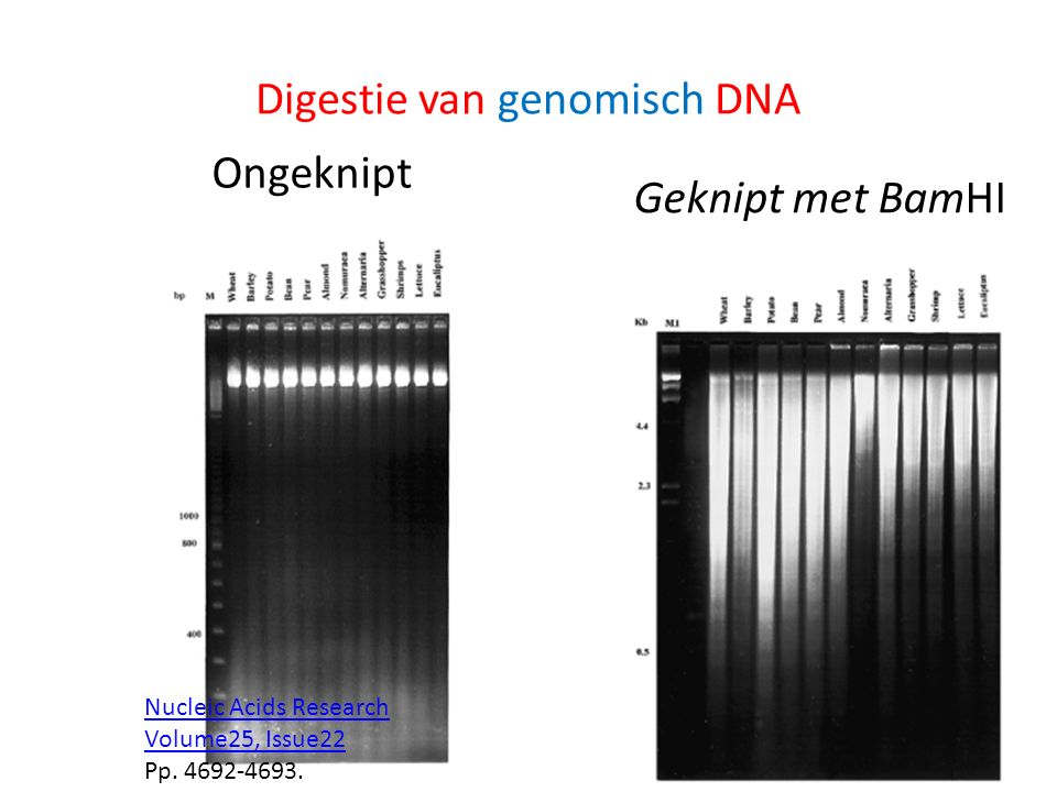 Ongeknipt Geknipt met BamHI Nucleic Acids Research Volume25, Issue22 Pp.