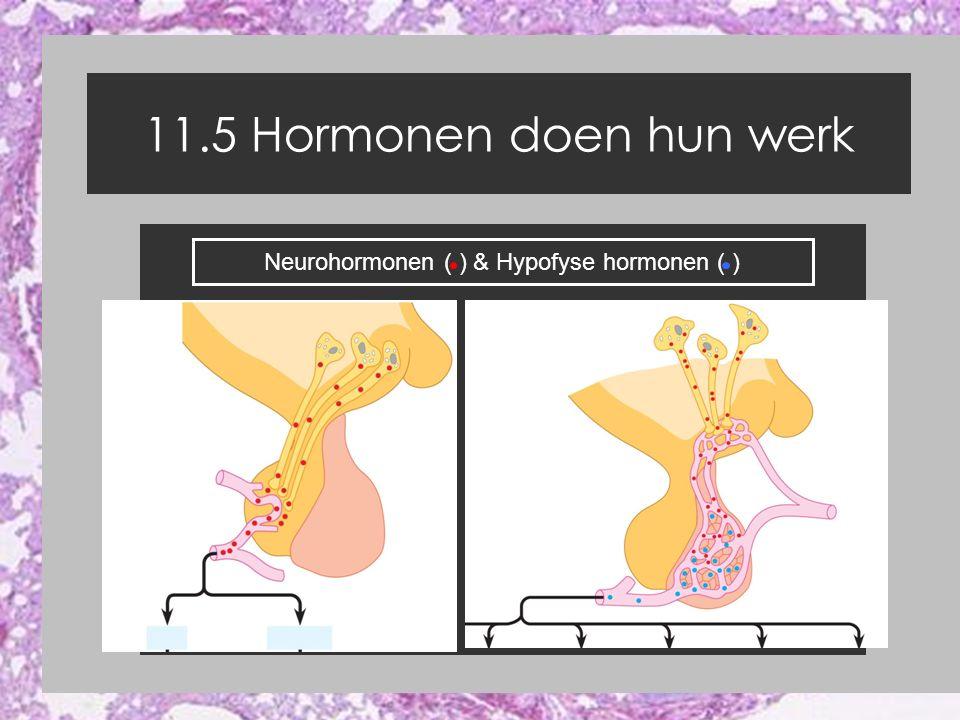 11.5 Hormonen doen hun werk Neurohormonen ( ) & Hypofyse hormonen ( )