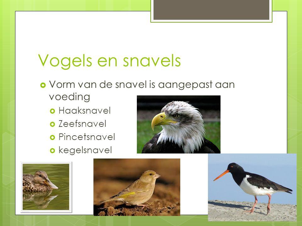 Vogels en snavels  Vorm van de snavel is aangepast aan voeding  Haaksnavel  Zeefsnavel  Pincetsnavel  kegelsnavel