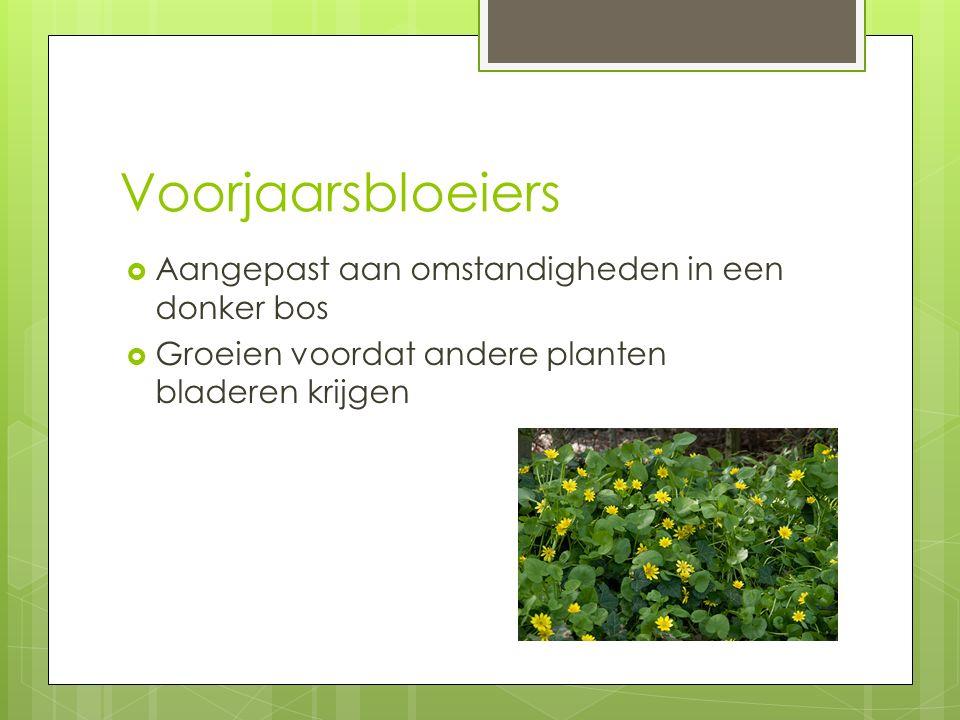 Voorjaarsbloeiers  Aangepast aan omstandigheden in een donker bos  Groeien voordat andere planten bladeren krijgen