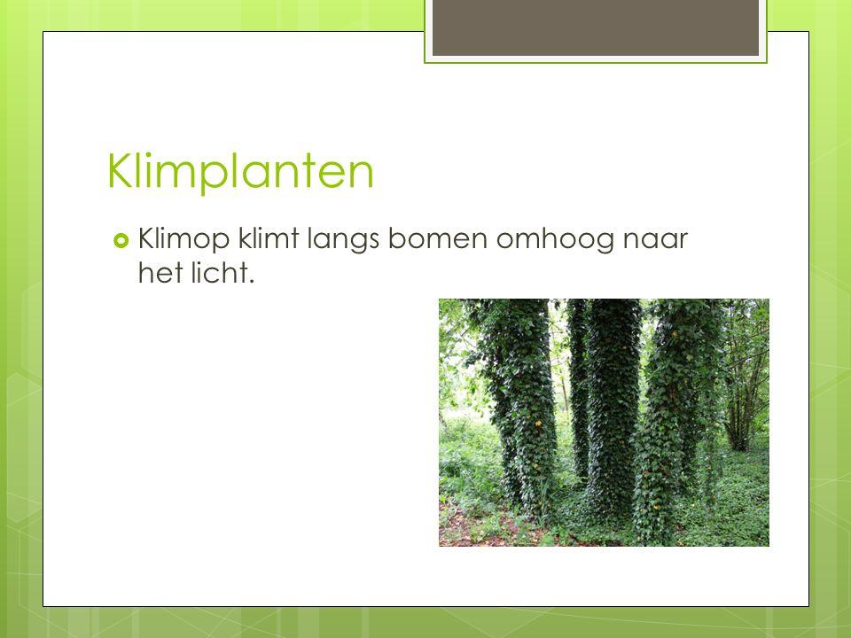 Klimplanten  Klimop klimt langs bomen omhoog naar het licht.