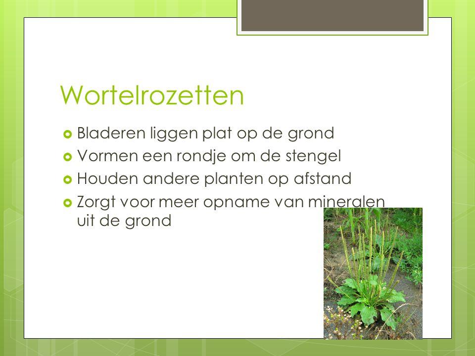 Wortelrozetten  Bladeren liggen plat op de grond  Vormen een rondje om de stengel  Houden andere planten op afstand  Zorgt voor meer opname van mineralen uit de grond