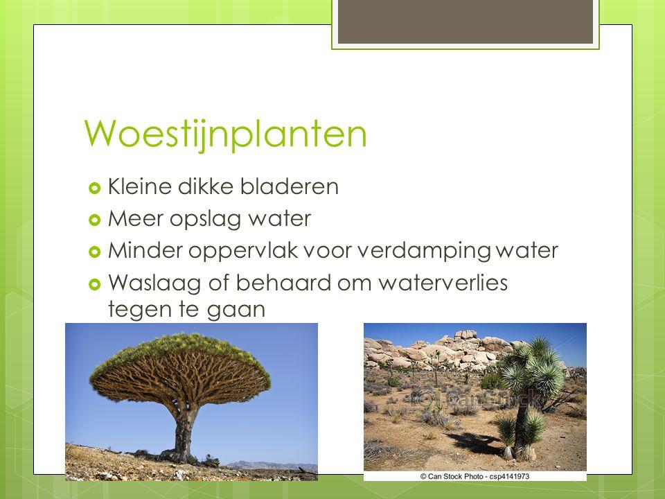 Woestijnplanten  Kleine dikke bladeren  Meer opslag water  Minder oppervlak voor verdamping water  Waslaag of behaard om waterverlies tegen te gaan