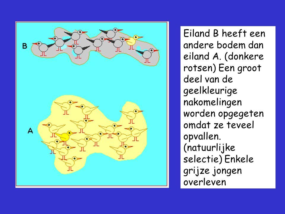 Eiland B heeft een andere bodem dan eiland A. (donkere rotsen) Een groot deel van de geelkleurige nakomelingen worden opgegeten omdat ze teveel opvall