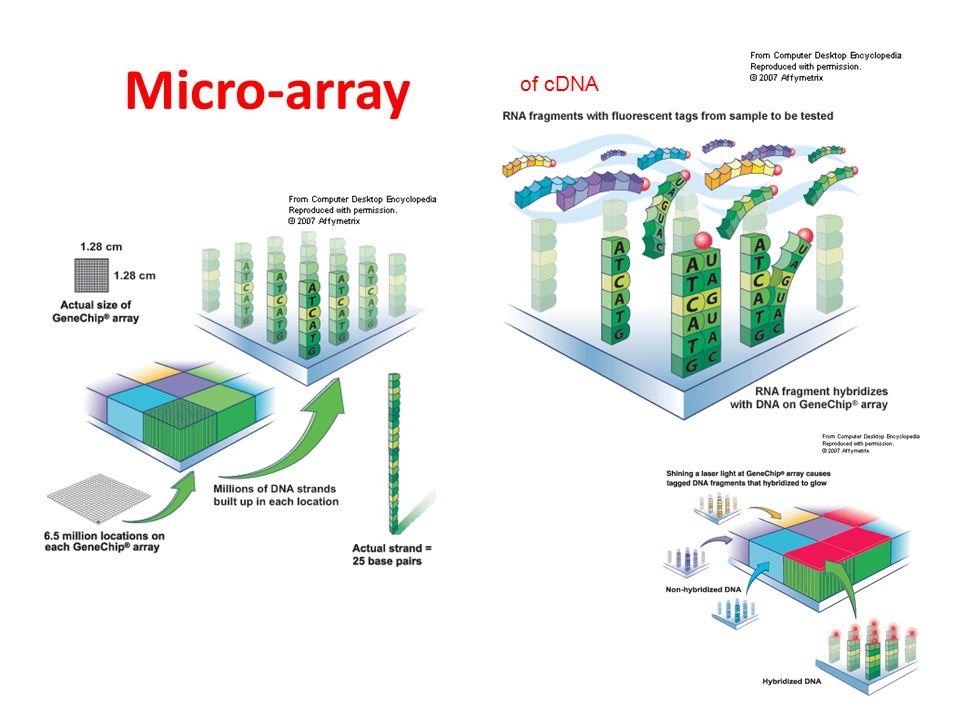 Micro-array of cDNA
