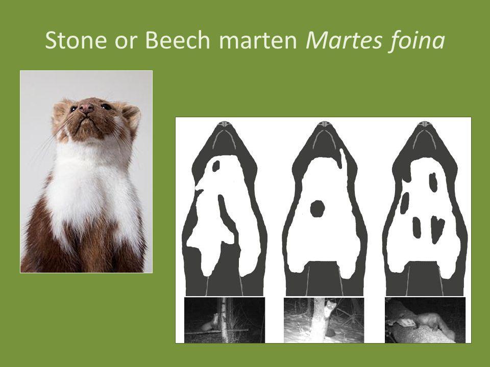 Stone or Beech marten Martes foina