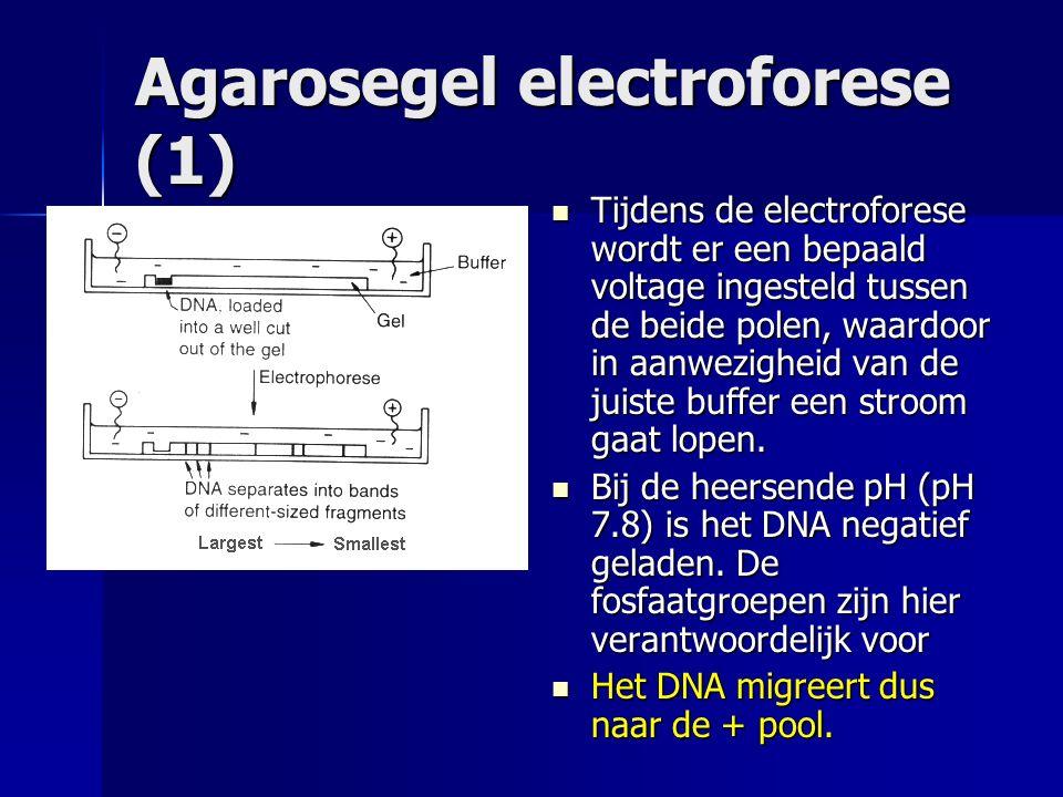 Agarosegel electroforese(2) De scheiding van lineaire DNA fragmenten vindt plaats op grond van de grootte.